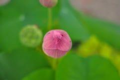 Marco Pink Lotus Flower mit grünem Hintergrund Stockbilder