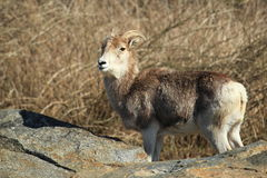Marco Polo sheep. The gazing marco polo sheep Royalty Free Stock Photos