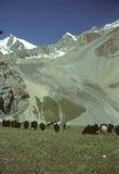 Marco Polo sheep grazing stock photography