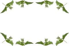 Marco simple de las hojas de menta aisladas en el fondo blanco Imagenes de archivo