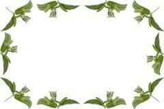 Marco simple de las hojas de menta aisladas en el fondo blanco Foto de archivo libre de regalías