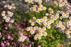 Marco soñador de la pequeña flor vibrante del aster de la forma circular en pétalos purpúreos claros del color y polen amarillo e Foto de archivo libre de regalías