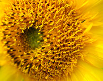 Marco Sunflower Stock Photography