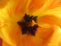 Marco van tulp Royalty-vrije Stock Afbeelding