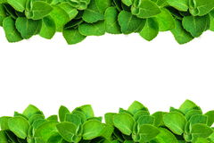 Marco verde de la menta de la hoja aislado en un fondo blanco con el espacio de la copia para el texto Foto de archivo libre de regalías