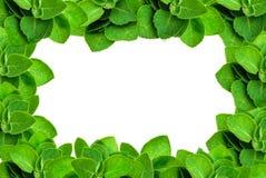 Marco verde de la menta de la hoja aislado en un fondo blanco con el espacio de la copia para el texto Imágenes de archivo libres de regalías