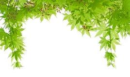 Marco verde del arce con la flor del arce Fotografía de archivo libre de regalías