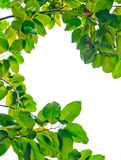 Marco verde fresco de la hoja Fotos de archivo libres de regalías