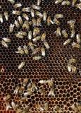 Marcos de la abeja con las abejas Imagen de archivo libre de regalías