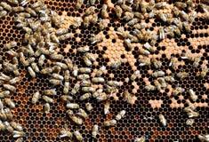 Marcos de la abeja con las abejas Fotos de archivo