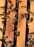 Marcos de la abeja con las abejas Imagen de archivo