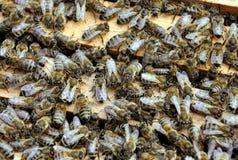 Marcos de la abeja con las abejas Imágenes de archivo libres de regalías