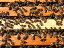 Marcos de la abeja con las abejas Fotos de archivo libres de regalías