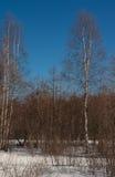 Marcowy drewno Zdjęcia Stock