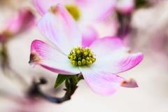 Marcro de la floración rosada del árbol de cornejo Imagenes de archivo