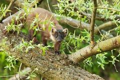 Marder (Martes Martes) geht nach einem gefallenen Baum Lizenzfreies Stockbild
