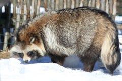 Marderhund im Winter lizenzfreies stockbild