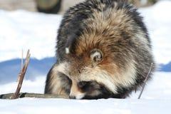 Marderhund (Nyctereutes procyonoides) Lizenzfreie Stockfotos