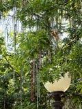 Mardi Gras Beads dans l'arbre avec le réverbère photographie stock libre de droits