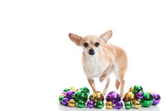 Mardi Gras Chihuahua. Chihuahua with mardi gras beads Royalty Free Stock Photo