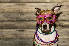Mardi Gras Dog. A cute dog dressed up for Mardi Gras royalty free stock photo