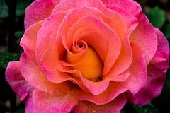 Mardi Gras Rose Flower arkivfoton