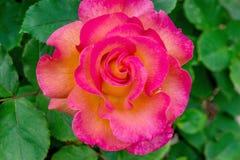 Mardi Gras Rose Flower arkivbilder