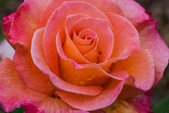 Mardi Gras Rose. Yellow center fades to pink at the tip of the Mardi Gras variety, rose flower Stock Photography