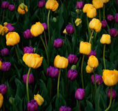 Mardi Gras Tulips Background Royalty Free Stock Photography