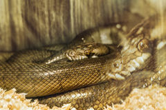Mardröm av ormen Fotografering för Bildbyråer