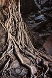 Mardrömträdet rotar Arkivbild