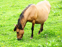 Mare. Pregnant female horses quiet in the green eating grass Royalty Free Stock Image
