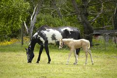 Free Mare And Colt Royalty Free Stock Photos - 830178