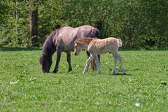Free Mare And Colt In Bialowieza National Park In Poland Royalty Free Stock Photos - 82206398