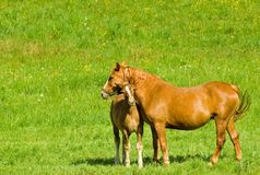 Free Mare And Foal Royalty Free Stock Photos - 5179068