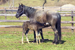 Free Mare And Foal Stock Photo - 52826360