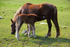 Free Mare And Foal Royalty Free Stock Photos - 9855788