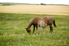 Mare And Foal In Pasture Stock Images