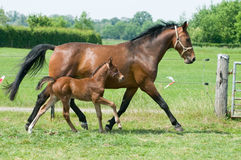 Mare And Foal Running Royalty Free Stock Photography