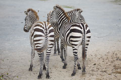 Mare with baby Grevy's zebra, Equus grevyi, Stock Photo