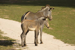 Mare with baby Grevy's zebra, Equus grevyi, Royalty Free Stock Photo