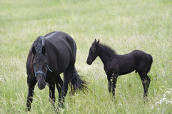 Mare With Black Colt On A Meadow Royalty Free Stock Photo
