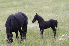Mare With Black Colt On-Weide Lizenzfreies Stockfoto