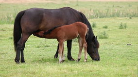 Mare and brown foal breastfeeding in the field Stock Photo