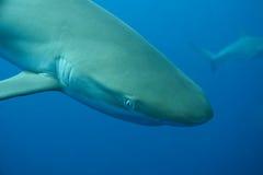 Mare caraibico subacqueo dello squalo bianco fotografia stock libera da diritti