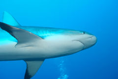Mare caraibico subacqueo dello squalo bianco fotografia stock