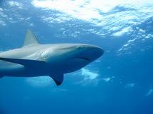 Mare caraibico subacqueo dello squalo bianco immagine stock libera da diritti