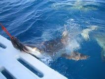 Mare caraibico subacqueo di attacco della barca dello squalo bianco fotografia stock libera da diritti