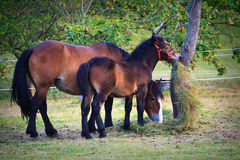 Mare and colt. Mare and her young colt grazing in a meadow under a tree royalty free stock image