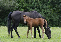 Mare and colt. Black mare and her ginger colt royalty free stock photography